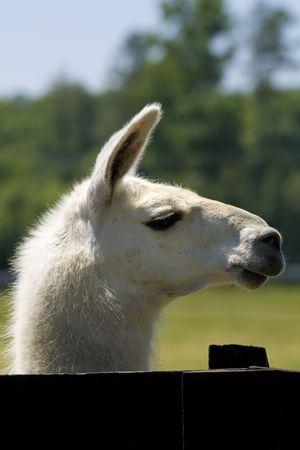 White llama portrait side head shot behind a black fence. photo