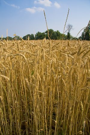 Golden field of wheat in the middle of summer ready for harverst. photo