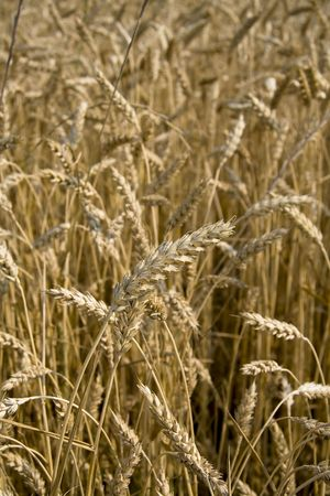 Close up view of golden wheat field ready for harvest. photo