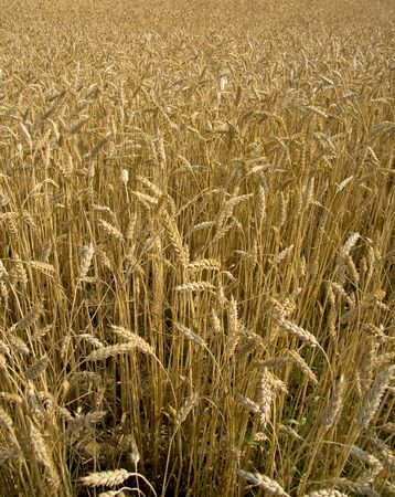 Golden field of wheat in the middle of summer ready for harvest. photo