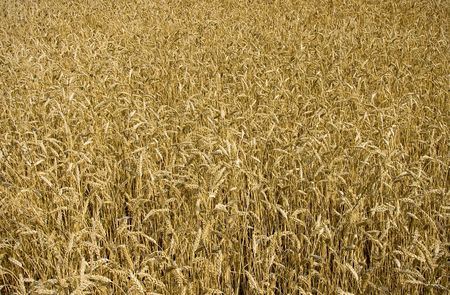 Golden wheat field in the middle of summer ready for harvest. photo