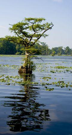 사이프러스 나무 그것의 활기찬 푸른 물에 반영합니다.