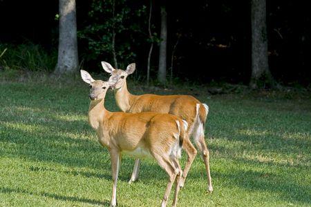 white tail: Due femmina del cervo cervo coda bianca in piedi su un campo erboso.