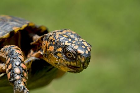ancient turtles: Close up of a box turtle. Stock Photo