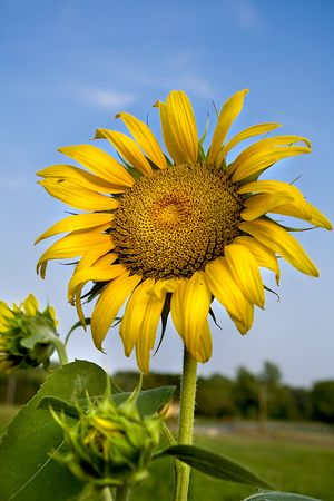 Closeup of beautiful sunflower in the summer time. photo