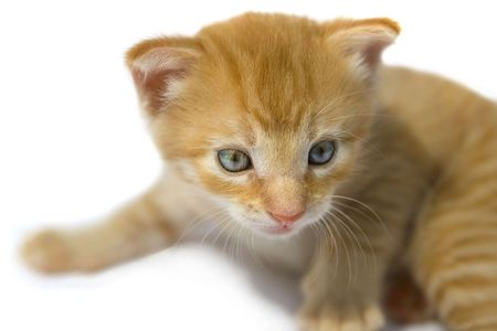 whiskar: Close up of cute kitten with beautiful eyes.
