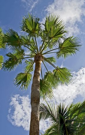 View of palm trees with blue sky and clouds in the background. Stock Photo - 3809656
