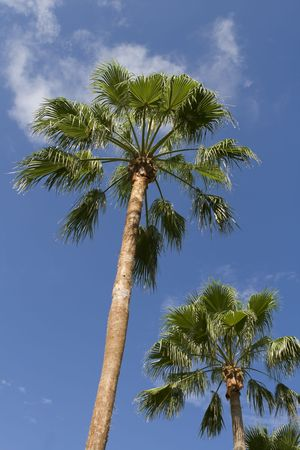 Palm trees with blue sky and clouds in the background. photo