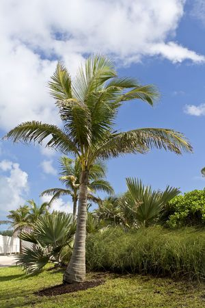 Palm tree and vegetation with blue sky and clouds in the background. photo