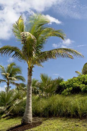 Palm trees and vegetation with blue sky and clouds in the background. Stock Photo - 3809668