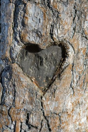wood cut: Heart shape carved into the side of a pine tree. Stock Photo