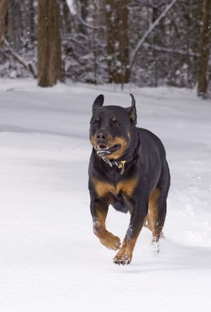 Rottweiler playing and running through the snow.