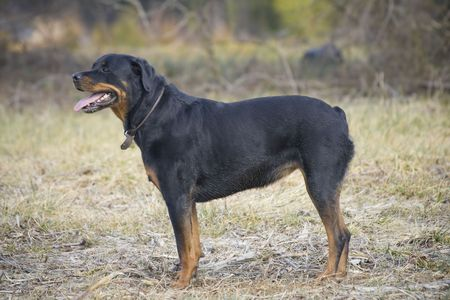 Good looking rottweiler standing in a grassy field.