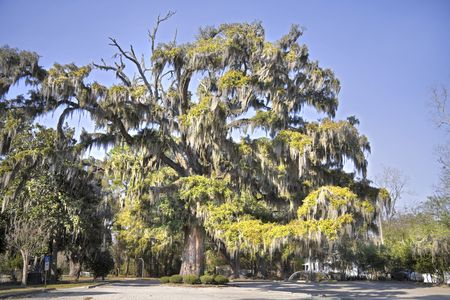 Large live oak tree with spanish moss hanging from the limbs. photo
