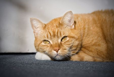 Orange tabby cat laying and resting on the carpet.