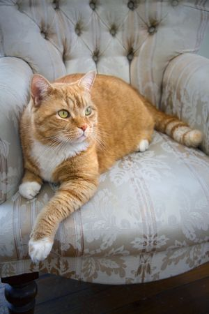 Orange colored tabby cat resting on a chair.