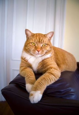 Orange colored tabby cat relaxing on a couch.