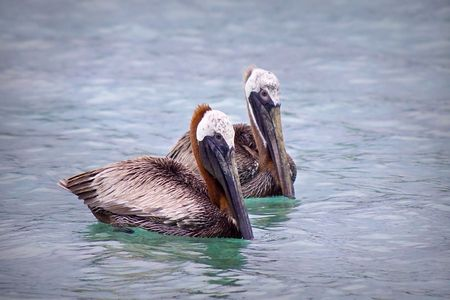 Close up of two pelicans floating in water. photo