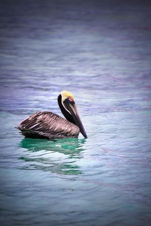 Pelican floating in multi colored topical water. photo