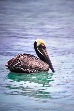 Close up of pelican floating in colorful water. photo