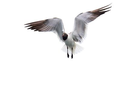 Isolated fying seagull with wings spread open.