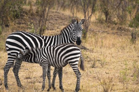 Young zebra nursing from its mother in field. photo
