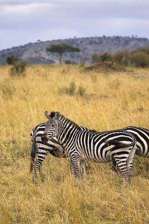 field stripped: Several zebras standing in African field with tall grass.
