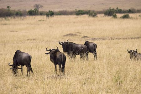 Group of wildebeest grazing in the grasslands of Africa. Stock Photo - 6798530
