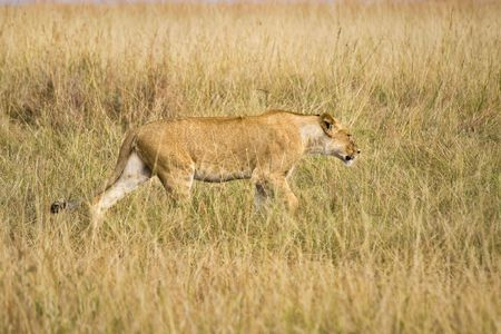 Female lion walking through tall grass of the African plains. photo