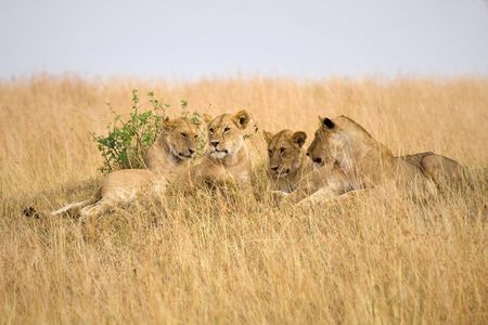 Group of female lions laying on a small hillside in Africa. Stock Photo - 6798504