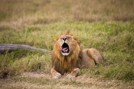 Male lion laying in grass with its mouth open.