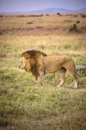 아프리카의 초원 평원을 걷고있는 남성 사자. 스톡 콘텐츠