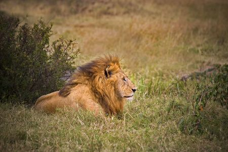 Male lion laying in the wild African bush. photo