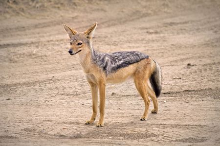 A jackal stand on dirt road in Africa. Stock Photo