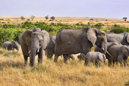 코끼리는 아프리카의 야생 부시에 서있는 그룹. 스톡 콘텐츠