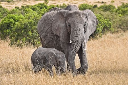 Baby and full grown elephant walking through grassy field.