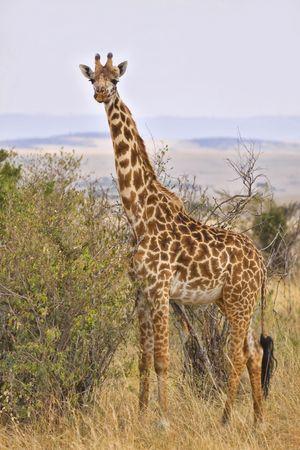 Giraffe standing next to bushy vegetation in Africa. photo