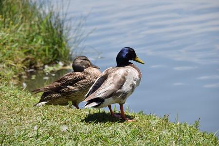 agachado: patos de pequeño lago