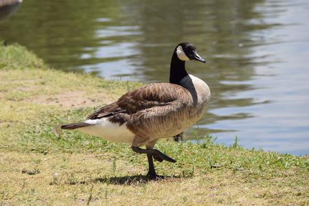 agachado: Pato por pequeño lago Foto de archivo
