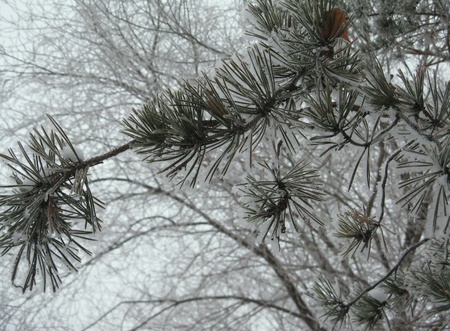 pinetree: branch of pine-tree in winter Stock Photo