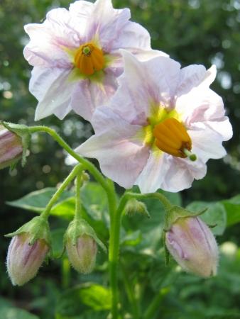 potato flowers Stock Photo - 14621354
