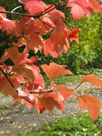 guelderrose: guelder-rose bushes in the autumn