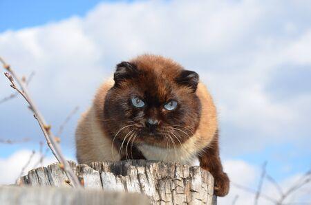 Siamese cat 版權商用圖片
