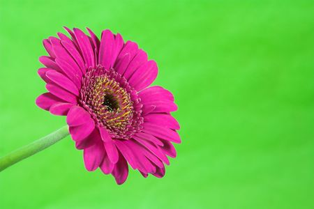 Bright and colorful flower against a plain striking background. 版權商用圖片