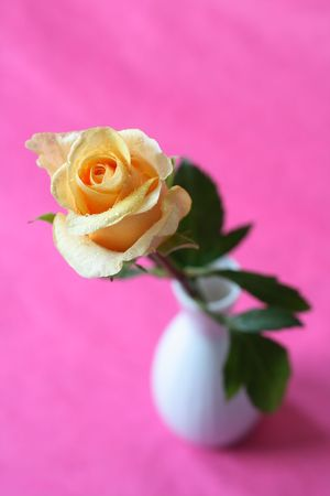 Yellow rose with water droplets on a white vase against a pink background. Background is textured, not noise. photo