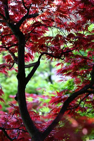 Japanese maple in a japanese garden. Soft focus for a dreamy feel. photo