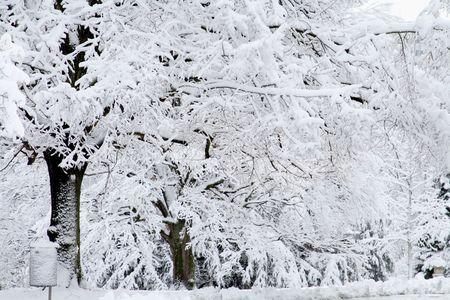 snowy background: Lone �rbol cubierto de nieve blanca contra un fondo cubierto de nieve. Escena de invierno. Foto de archivo