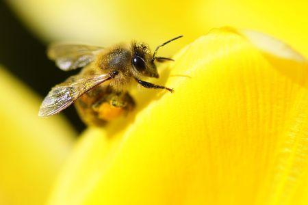 Closeup di un miele delle api si posarono su un fiore.