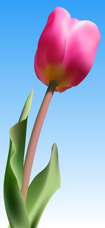 Vector - Realistic fresh pink tulip against blue sky using gradient mesh. Vector