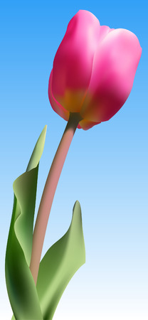 Vector - Realistic fresh pink tulip against blue sky using gradient mesh. Vector